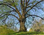 Lime Tree, Nilkheim, Aschaffenburg, Franconia, Bavaria, Germany