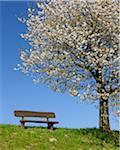 Cherry Tree, Moembris, Aschaffenburg, Franconia, Bavaria, Germany