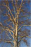 Sycamore Tree, Aschaffenburg, Franconia, Bavaria, Germany