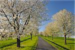 Path and Cherry Trees, Moembris, Aschaffenburg, Franconia, Bavaria, Germany
