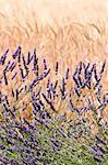 Lavande et blé, Provence, France