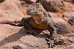 Galapagos Islands, A land iguana on North Seymour island.