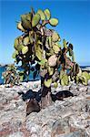 Galapagos Islands, Galapagos sea lions resting under a huge cactus tree  at South Plaza island.