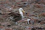 Galapagos Islands, A waved albatross and chick at Punta Suarez.