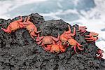 Les îles Galapagos, de couleurs vives Sally lightfoot crabes ou les crabes de lave rouge - sur l'île de Santiago.