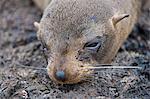 Galapagos Islands, A Galapagos fur seal resting on lava rock on Santiago Island.