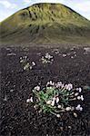 Islande. Dans la zone de Thorsmork, la lente remise en végétation des pentes volcaniques est évident dans la cale tenous que les plantes alpines a sur le sol de la lave en face d'un cône volcanique éteint.