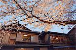 Shinbashi tea house and spring cherry blossom tree