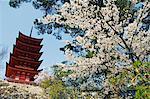 Japan,Honshu Island,Hiroshima Prefecture,Miyajima Island. Spring cherry blossom at the five story pagoda next to Senjokaku.