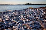 Malawi, Monkey Bay. Drying fish on the shores of Lake Malawi.