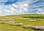 Mer roses, Isle of Lewis, Hébrides, Écosse, RU
