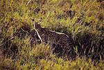 Tanzania, Serengeti. A serval looks back as it slinks through the tall grass.