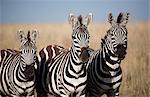 Tanzania, Serengeti. A trio of Burchell's zebra.