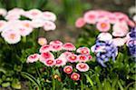 Englisch, Gänseblümchen, Mirabellgarten, Salzburg, Salzburger Land, Österreich