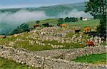 Cattle grazing a limestone escarpment, Winskill Stones, Ribblesdale, Yorkshire Dales National Park, England