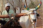 Indien, Madhya Pradesh. Ein Ochsen gezogenen Karren mit Korn in der Nähe von Satpura Nationalpark.