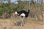 Kenya, A male Somali ostrich in Samburu National Game Reserve of Northern Kenya.