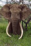 Au Kenya, les collines de Chyulu, Ol Donyo aue. Un éléphant mâle avec défenses massives navigue dans la brousse.