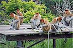 South East Asia, Malaysia, Borneo, Sabah, Labuk Bay Proboscis Monkey Sanctuary, Proboscis monkey