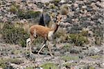 Pérou, vigogne dans la Cordillère des Andes entre Arequipa et le Canyon de Colca. Laine de vigogne est la fibre la plus belle peut être tourné dans le monde.