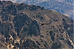 Au Pérou, un Condor des Andes magnifique au-dessus du Canyon de Colca. 3 191 Mètres, ce canyon est le deuxième plus profond au monde.