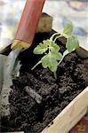 Seedling and garden trowel in crate