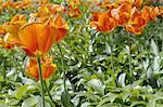 Bereich der orange Tulpen