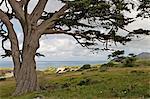 Pin méditerranéen dans la réserve naturelle de Cape Point, Province occidentale du Cap, en Afrique du Sud