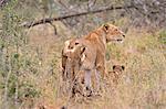 Two lion cubs (Panthera leo) harass mother, Timbavati Game Reserve, Mpumalanga Province, South Africa