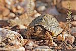 Junge Schildkröte in der Nähe von Oudtshoorn, Provinz Westkap, Südafrika