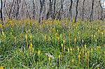 Fleurs sauvages dans les terres humides, près de Nieuwoudtville, Province de Northern Cape, en Afrique du Sud