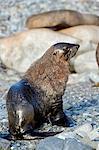 L'Antarctique, Half Moon Bay. Une mâle colonie d'otaries à fourrure Antarctique, Arctocephalus gazella, sécher sur la plage pierreuse.