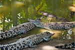 Australie, Northern Territory, Darwin. Crocodiles à Crocodylus Wildlife Park.