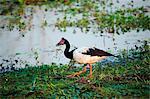 Australia, Northern Territory, Kakadu National Park, Cooinda. Magpie goose (Anseranas semipalmata)Yellow Water Wetlands.(PR)