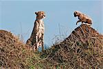 Kenya. Un guépard et son ourson âgé d'un mois sur les termitières dans la réserve nationale de Masai Mara.
