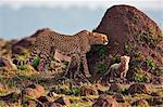Kenya. Un guépard et ses petits âgés d'un mois à côté d'une termitière dans la réserve nationale de Masai Mara.