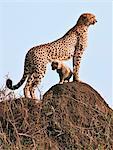 Kenya. Un guépard et son ourson âgé d'un mois se tiennent sur le dessus une termitière dans la réserve nationale de Masai Mara.