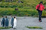 Île de la Géorgie du Sud, la baie de Cumberland, Grytviken. King Penguins sont vus par un tourisme de randonnée le long du rivage