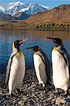Géorgie du Sud et îles Sandwich du Sud, Géorgie du Sud, la baie de Cumberland, Grytviken. Un groupe de pingouins roi sur la plage.