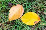 Beech Leaves on Grass
