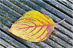 Kousa Hartriegel Blatt im Herbst