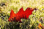 Nördliche Rote Eichen-Blatt im Gras