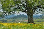 Linde in Spring, Heimhofen, Allgäu, Bayern, Deutschland