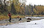 Fly fisherman reeling in a wild Steelhead on Deep Creek, Kenai Peninsula, Southcentral Alaska, Autumn