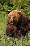 Grizzly bear promenades près de Mikfik Creek, refuge de gibier d'état de la rivière McNeil, sud-ouest de l'Alaska, été