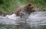 Grizzly bear, recharge par le biais de cours d'eau pour pêcher le saumon dans le ruisseau de Mikfik, refuge de gibier état rivière McNeil, sud-ouest de l'Alaska, l'été