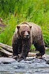 Bouchent le portrait d'une adulte pêche ours brun pour le saumon dans le fleuve russe, la péninsule de Kenai, centre-sud de l'Alaska, l'été
