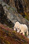Two Mountain Goats graze near Exit Glacier's Harding Icefield Trail, Kenai Fjords National Park, Kenai Peninsula, Southcentral Alaska, Summer