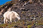 Mountain Goat grazing near Exit Glacier's Harding Icefield Trail, Kenai Fjords National Park, Kenai Peninsula, Southcentral Alaska, Summer