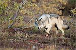 Jeune loup adulte de Grant Creek Park les tiges à travers les saules près du col de route dans le Denali National Park and Preserve, intérieur de l'Alaska, automne